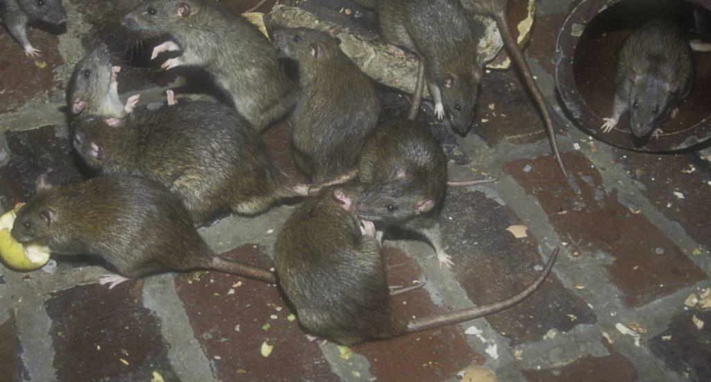 уничтожение крыс в Рославле